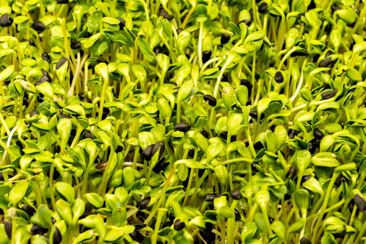 Как работает фабрика микрозелени: экскурсия на производство © Техномод